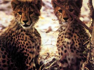 Gepard: Jungtiere