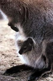 Känguruh: Weibchen, Jungtier