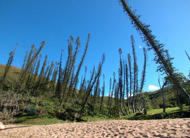 Schildkrötenstrand von Bourail mit besonders schönen Araukarienbäumen