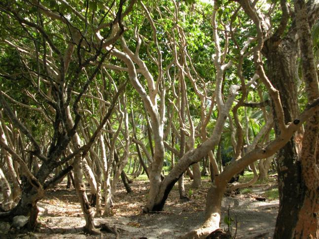 Araukarienbäume