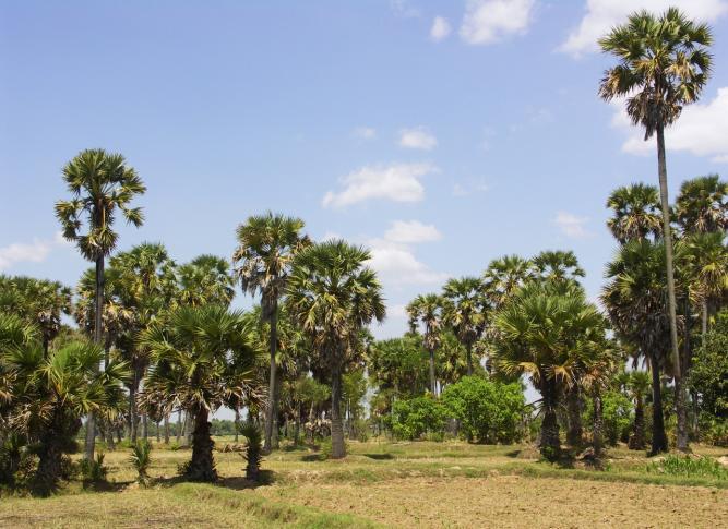 Reisfelder in der Trockenzeit in Phnum Pradak