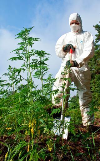 Mann entfernt mit Schutzanzug und Staubmaske Ambrosiapflanze