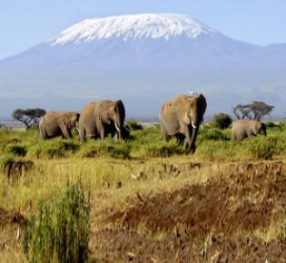 Elefanten vor dem Mount Kilimanjaro