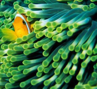 Seeanemone und Anemonenfisch