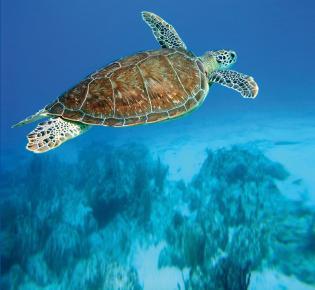 Meeresschildkröte in der Karibischen See