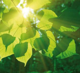 Sonnenlicht bricht durch Lindenblätter