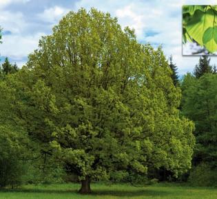 """Die Linde: ein """"Heiliges Holz"""""""