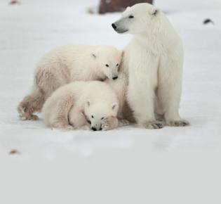 Eisbär Ursus maritimus